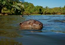 Giant Otter (Pteronura Brasili...