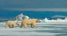 Polar Bear With Cub Walking On...