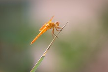 Flame Skimmer Dragonfly (Libellula Saturata) On Blade Of Grass, Tucson, Arizona, USA, North America