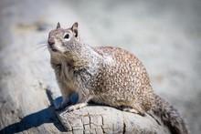 Eastern Gray Squirrel (Sciurus Carolinensis) Sits On Tree Trunk, West Coast, California, USA, North America