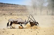 Fighting Gemsboks (Oryx Gazell...
