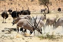 Gemsboks And Ostriches In Kgalagadi Transfrontier Park