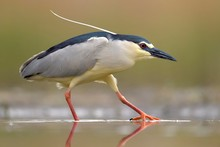 Black-crowned Night Heron (Nycticorax Nycticorax), Adult Heron, Hunting In The Water, Kiskunsag National Park, Hungary, Europe