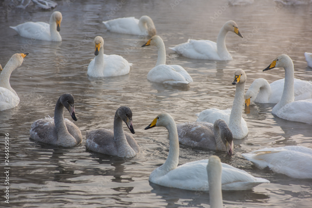 Group of Beautiful white whooping swans swimming in the nonfreezing winter lake. Age birds with their young brood, family concept