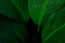 Rain Drop On Leaves, Dark Green Background.