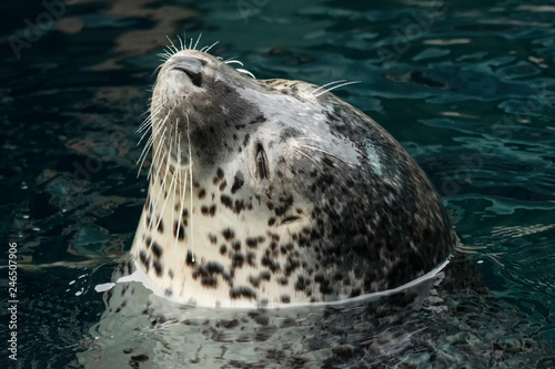 Photo  Harbor seal along Pacific coast;  Alaska