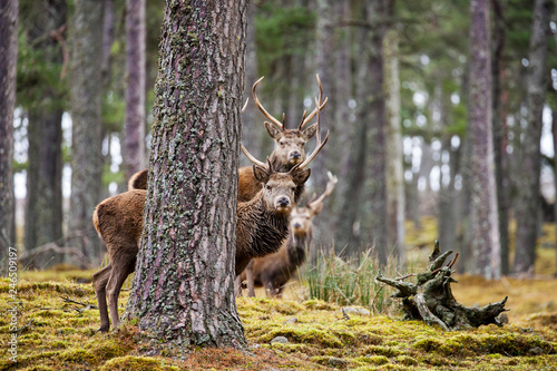 Red deer, Cervus elaphus  in Scotland Canvas Print