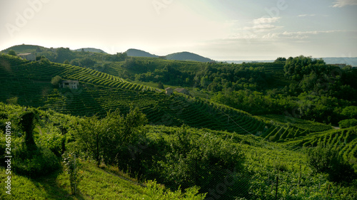 Poster Rijstvelden Green Prosecco vineyards - Conegliano Valdobbiadene