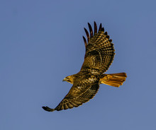 Red-Tailed Hawk Soaring - A Re...