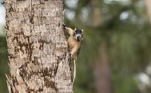 Alert Big Cypress Fox Squirrel...