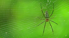 Spider Closeup Nephila Pilipes, Northern Golden Orb Weaver Or Giant Golden Orb Weaver One Of The Largest Spiders In The World. Dorsal Side With Green Nature Forest Bokeh Background.
