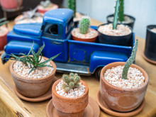 Cactus Plant In Pots