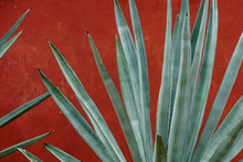 Closeup Of Green Agave Against Red Wall In Rural Mexico