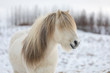 canvas print picture - White Icelandic horse with the most beautiful mane as if it had just been styled