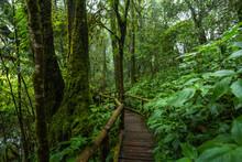 Wooden Bridge Walkway In To The Rain Forest