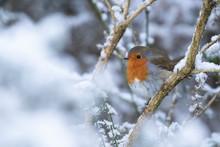 Robin, Erithacus Rubecula, Red...