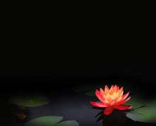 Beautiful Red Water Lily Flower In The Lake .Nymphaea Reflection In The Pond