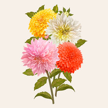 Mixed Dahlia Flowers Illustrat...