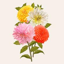 Mixed Dahlia Flowers Illustration