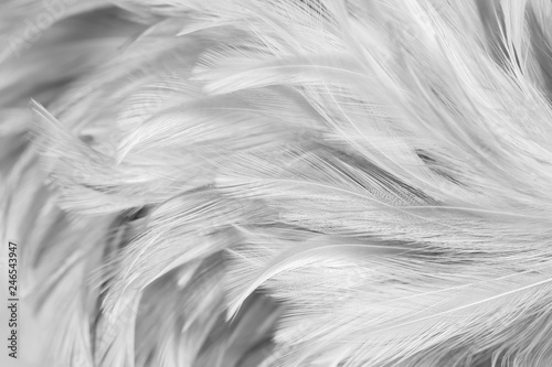 Poster Aigle Gray chicken feathers in soft and blur style for the background, black and white