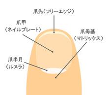 爪のしくみ