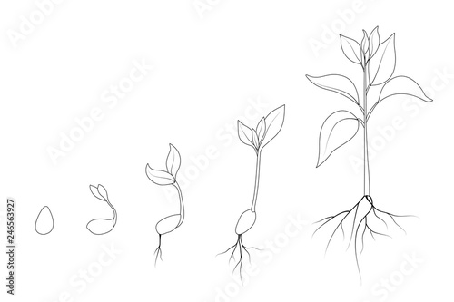 Seed Growth Diagram
