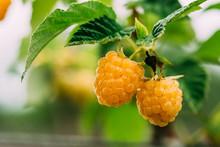 Yellow Golden Raspberries. Growing Organic Berries Closeup. Ripe Raspberry In Fruit Garden