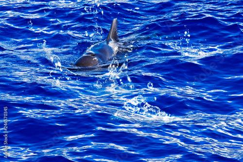 Plakat tył i płetwa nurkującego delfina na Oceanie Atlantyckim