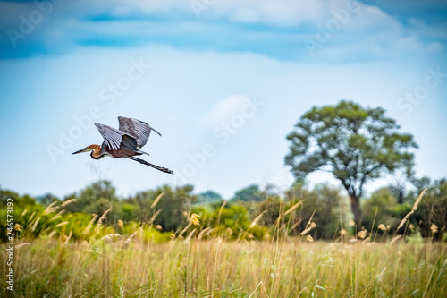 Reiher im Flug am Kavango Fluss in Namibia Wallpaper Mural