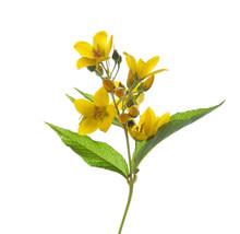 Lysimachia Vulgaris (Yellow Lo...