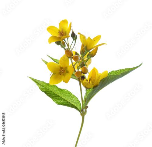 Lysimachia vulgaris (Yellow Loosestrife) isolated on white background Fototapeta