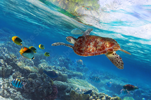 Fotografía  Green turtle underwater at the tropical island