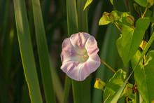 Sunrise On Morning Glory Flower.