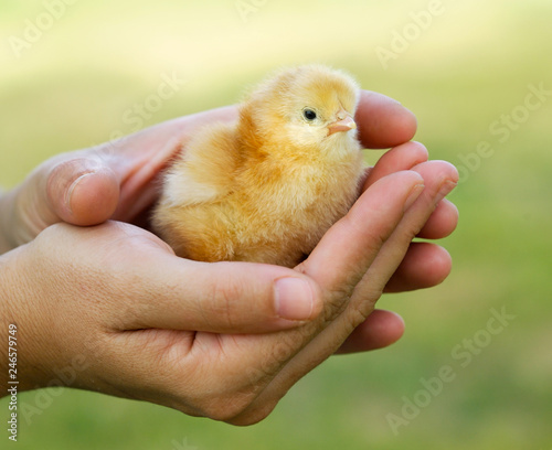 Female hand holding a yellow chicken