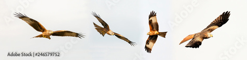 Awesome birds of prey in fligh