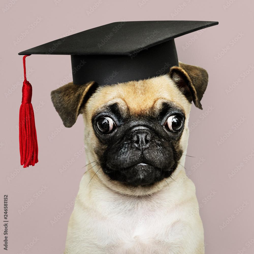 Fototapety, obrazy: Cute Pug puppy in a graduation cap