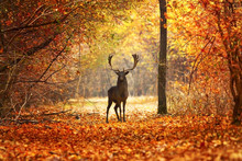 Fallow Deer Stag In Beautiful ...