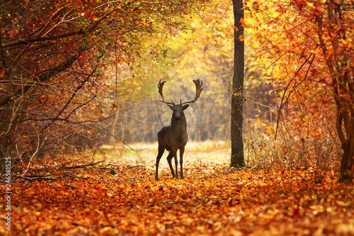 Poster Hert fallow deer stag in beautiful autumn forest