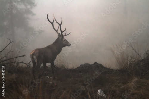 Poster Hert red deer stag in the wilderness of Carpathian mountains