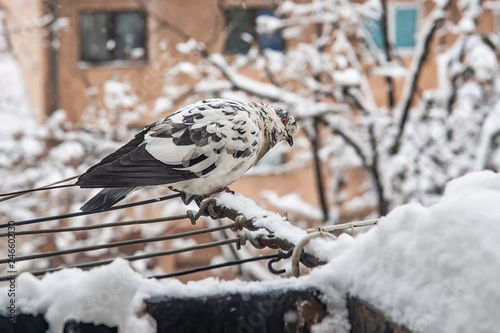 Portrait of black and white pigeon on the snow
