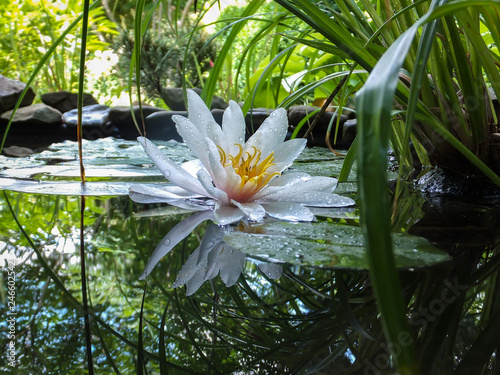Wall Murals Water lilies Magic close-up of white water lily or lotus flower Marliacea Rosea reflected in pond water mirror. Petals of Nymphaea lily in water drops. Water lily on blurred stone background. Selective focus.