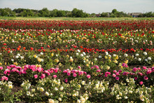 Colorful Fields With Blooming Roses, Summer Outdoors.
