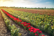 Colorful Fields With Blooming ...