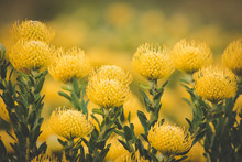 Close Up Image Of Bright Yellow Pincushion Proteas In The Western Cape Fynbos Floral Kingdom In South Africa