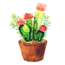 Cactus With Pink Flower, Succulent In Pod, Tropical Blossom Cactus Species, Flowering Green House Plant, Flowers Design, Hand Drawn Watercolor Illustration On White Background