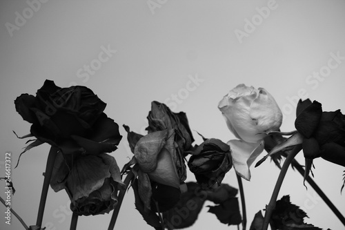 Fotobehang Bloemen zwart wit Dead roses in black and white, flowers in black and white, no background, white background