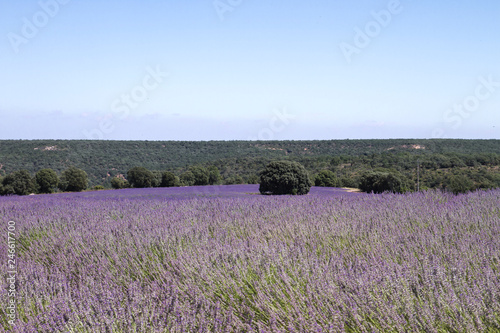 Purple carpet on lavender field
