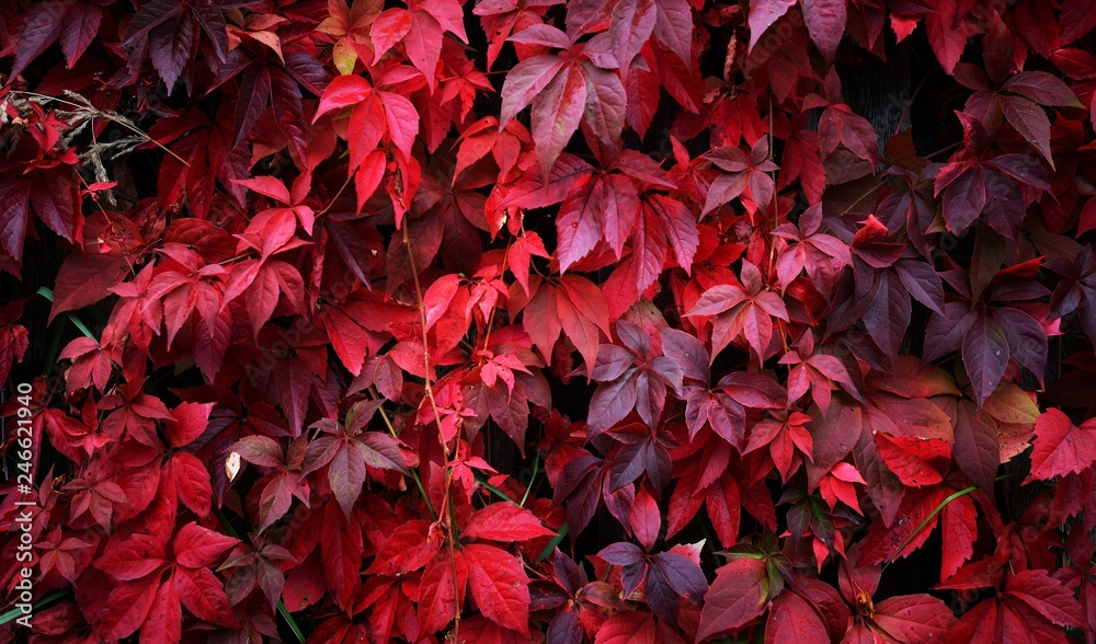 Fototapety, obrazy: Wild grapes with red leaves growing densely on a wooden fence on an autumn day