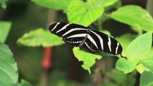 Zebra Long Wing Butterfly Sitt...