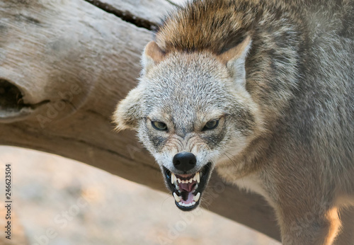 Fotografia A Golden jackal animal in anger and fight mode in nature.